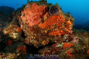 Sea urchin on rock with sponges by Vittorio Durante 